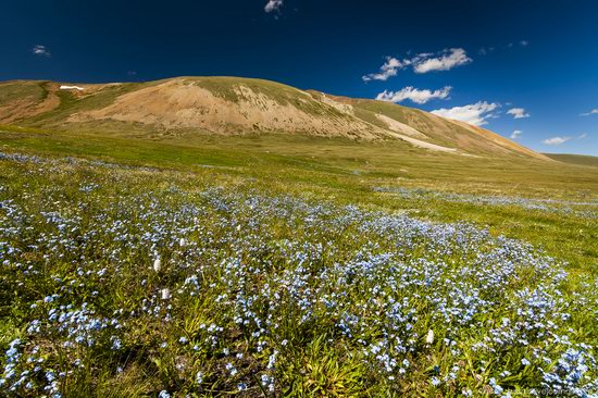 Wild flowers, Altai, Russia, photo 1