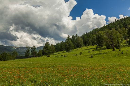 Wild flowers, Altai, Russia, photo 10