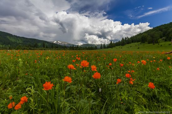 Wild flowers, Altai, Russia, photo 11
