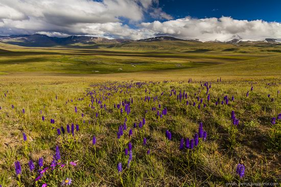 Wild flowers, Altai, Russia, photo 13