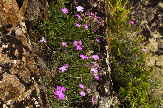 Wild flowers, Altai, Russia, photo 14