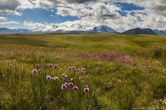 Wild flowers, Altai, Russia, photo 15
