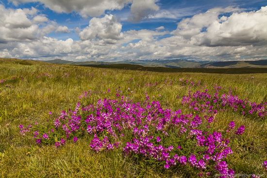 Wild flowers, Altai, Russia, photo 16