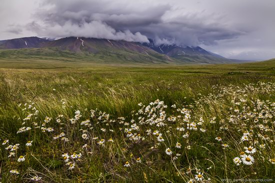 Wild flowers, Altai, Russia, photo 17