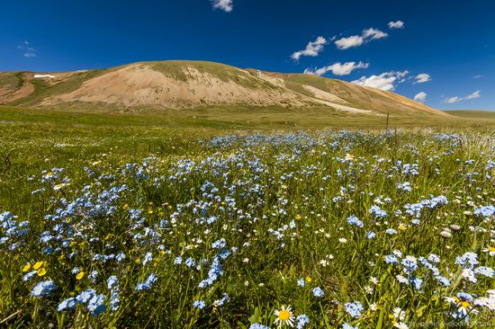 Wild flowers, Altai, Russia, photo 2
