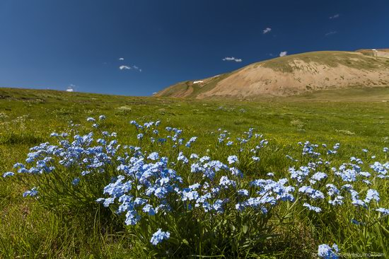 Wild flowers, Altai, Russia, photo 3