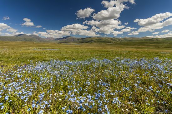 Wild flowers, Altai, Russia, photo 4