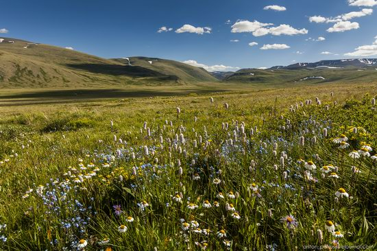 Wild flowers, Altai, Russia, photo 5