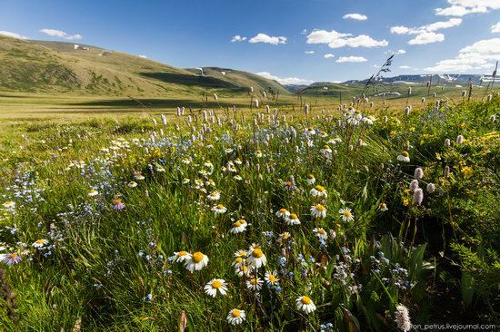 Wild flowers, Altai, Russia, photo 6