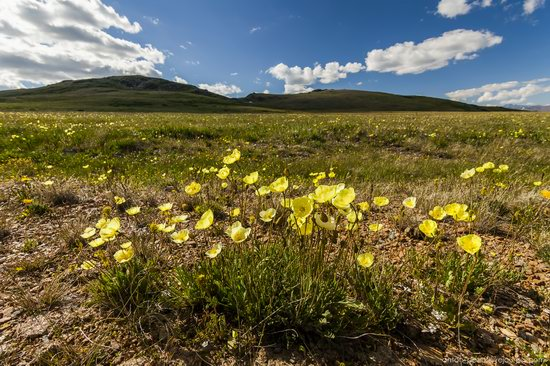 Wild flowers, Altai, Russia, photo 7