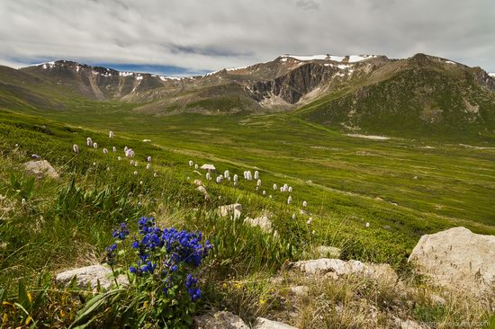 Wild flowers, Altai, Russia, photo 9