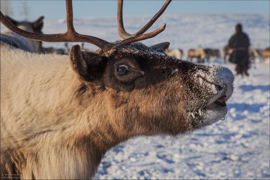 Life of the Nenets Reindeer Herders in the Russian North, photo 12