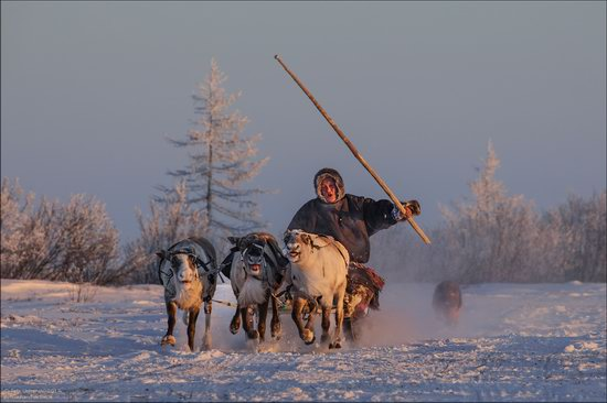 Life of the Nenets Reindeer Herders in the Russian North, photo 13