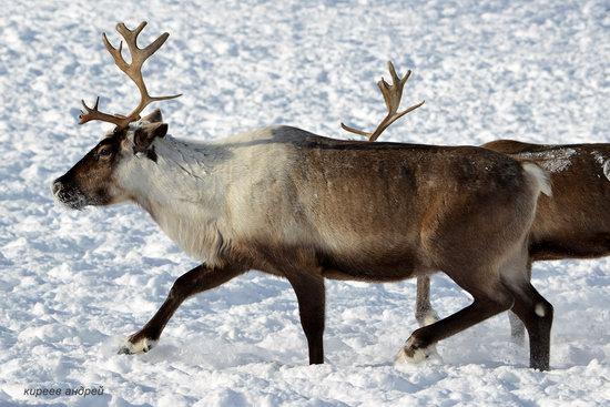 Nenets Reindeer Herders of Yamal, Russia, photo 14