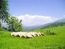 Flock of sheep in Chechnya