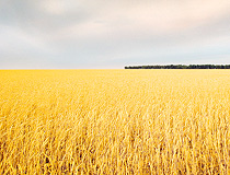 Wheat field in Chelyabinsk oblast