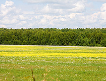 Flowering field in Kaluga oblast