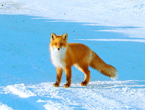 Kamchatka fox