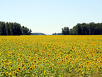 Sunflower field in Novosibirsk oblast