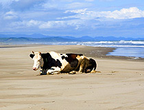 Just a cow resting on the beach in the Sakhalin region