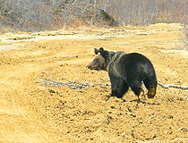Bear in Sakhalin oblast