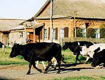 Tatariya republic cows