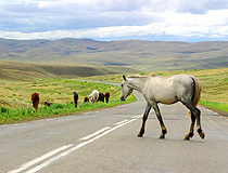 Horses in Tuva Republic