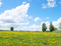 Field of dandelions in the Ulyanovsk region