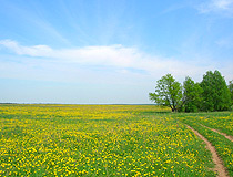 Dandelion field in the Vladimir region